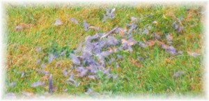 grey feathers on lawn2