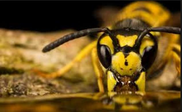 wasp-drinking